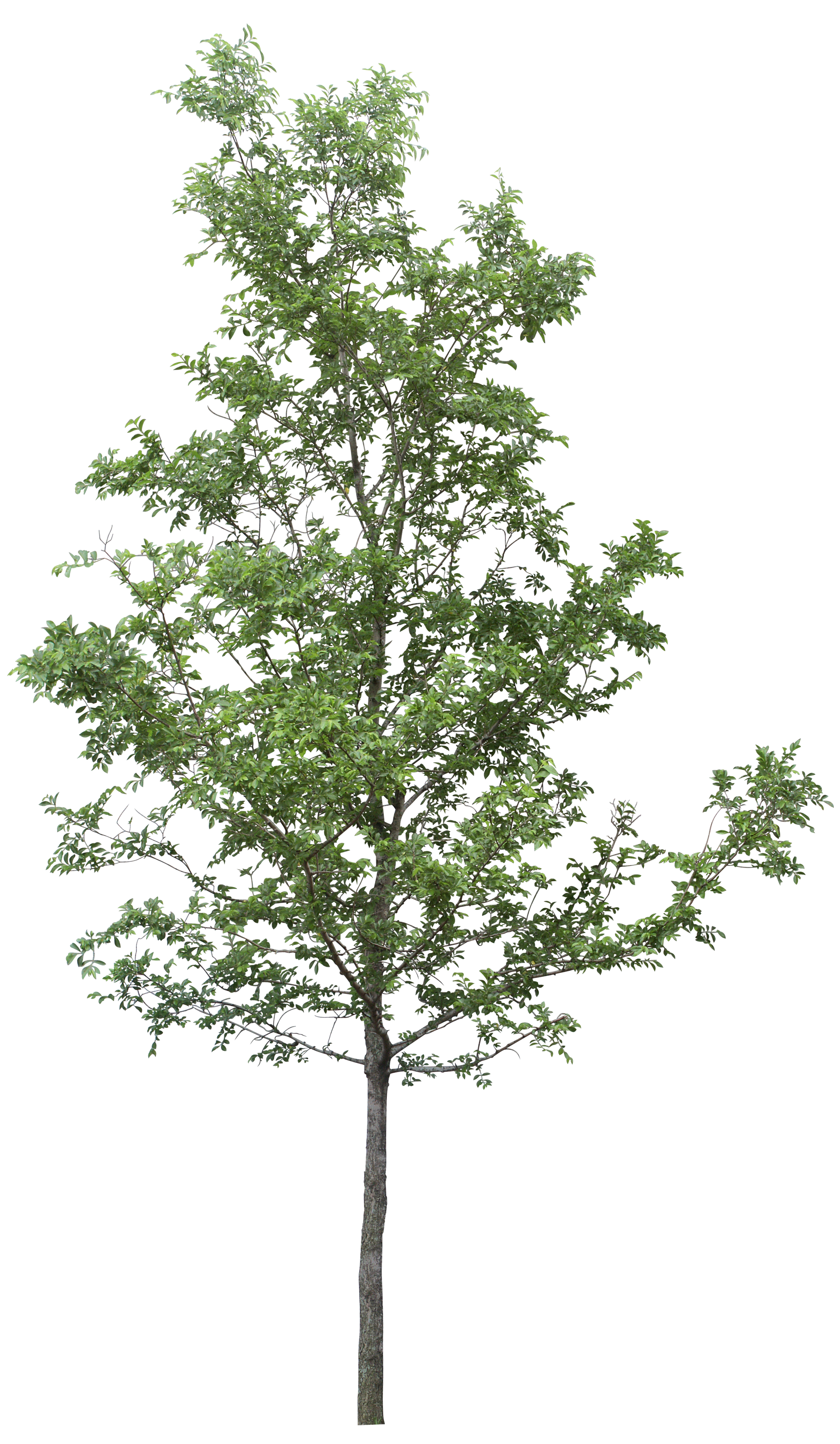 Forest Tree PNG Image