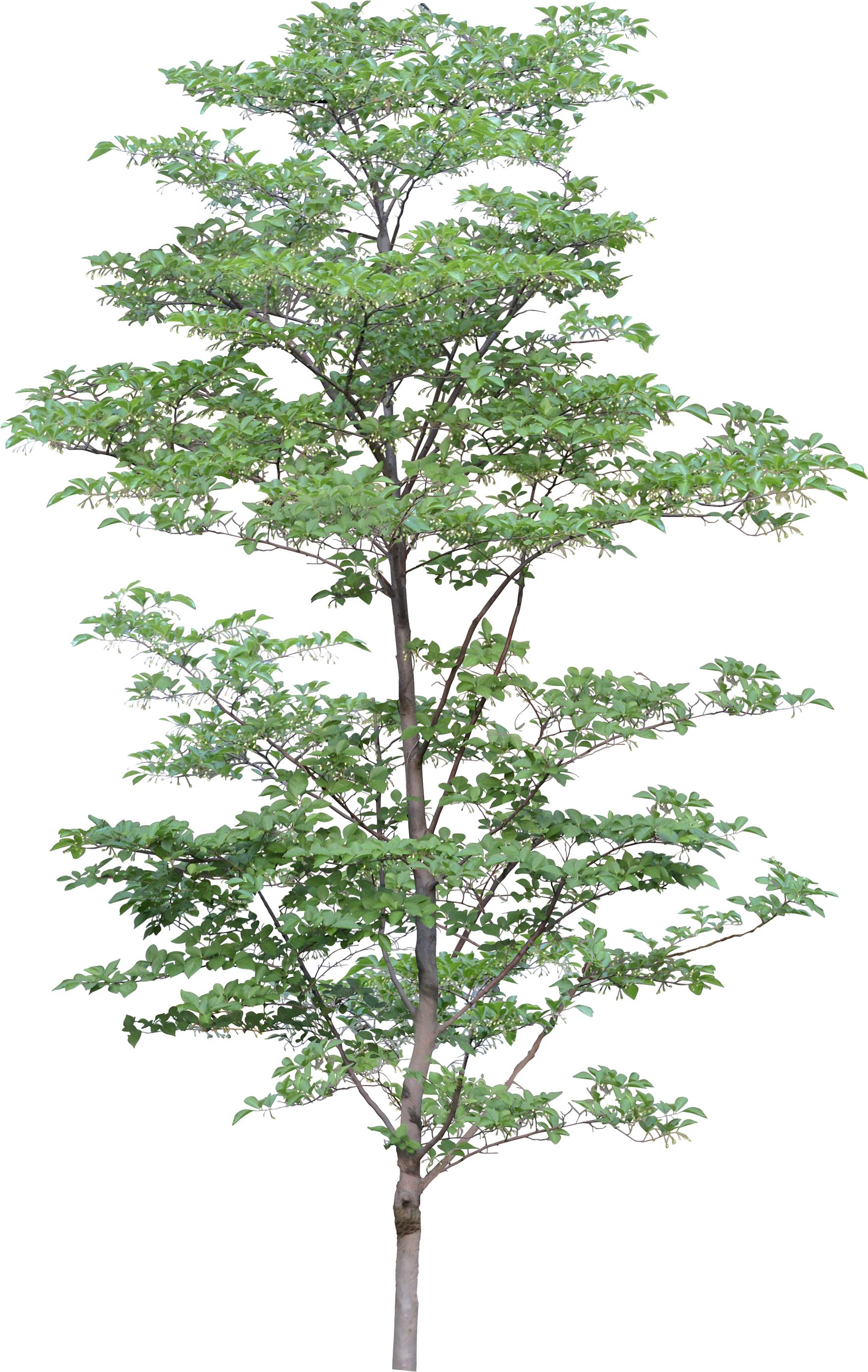 Natural Big Tree  PNG Image