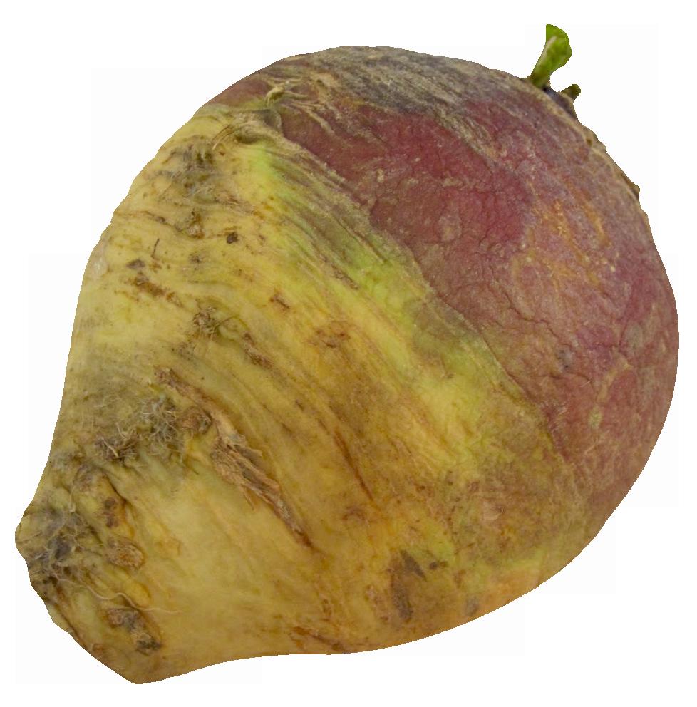 Turnip Rutabaga root