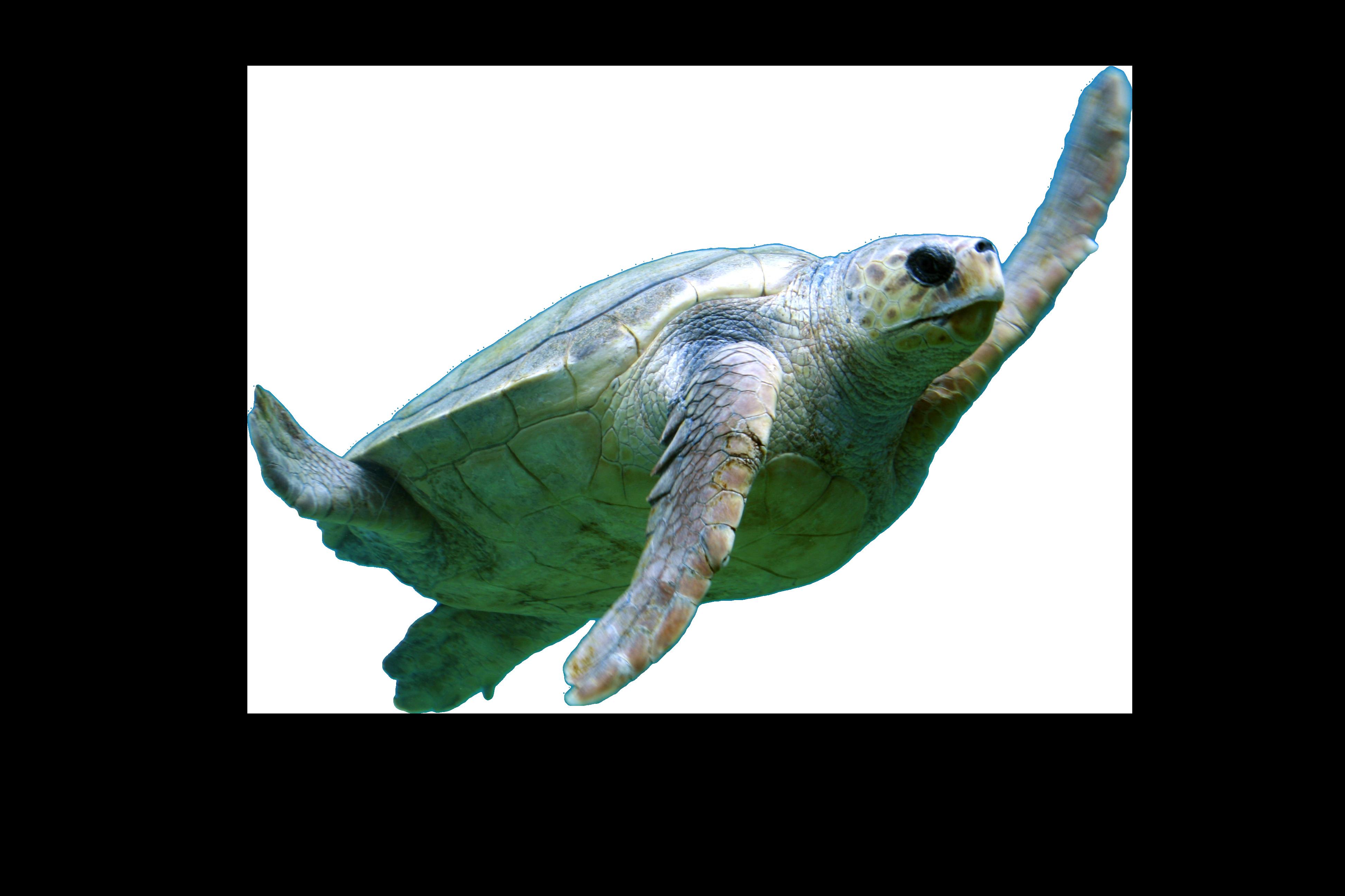 Turtel Swimming PNG Image