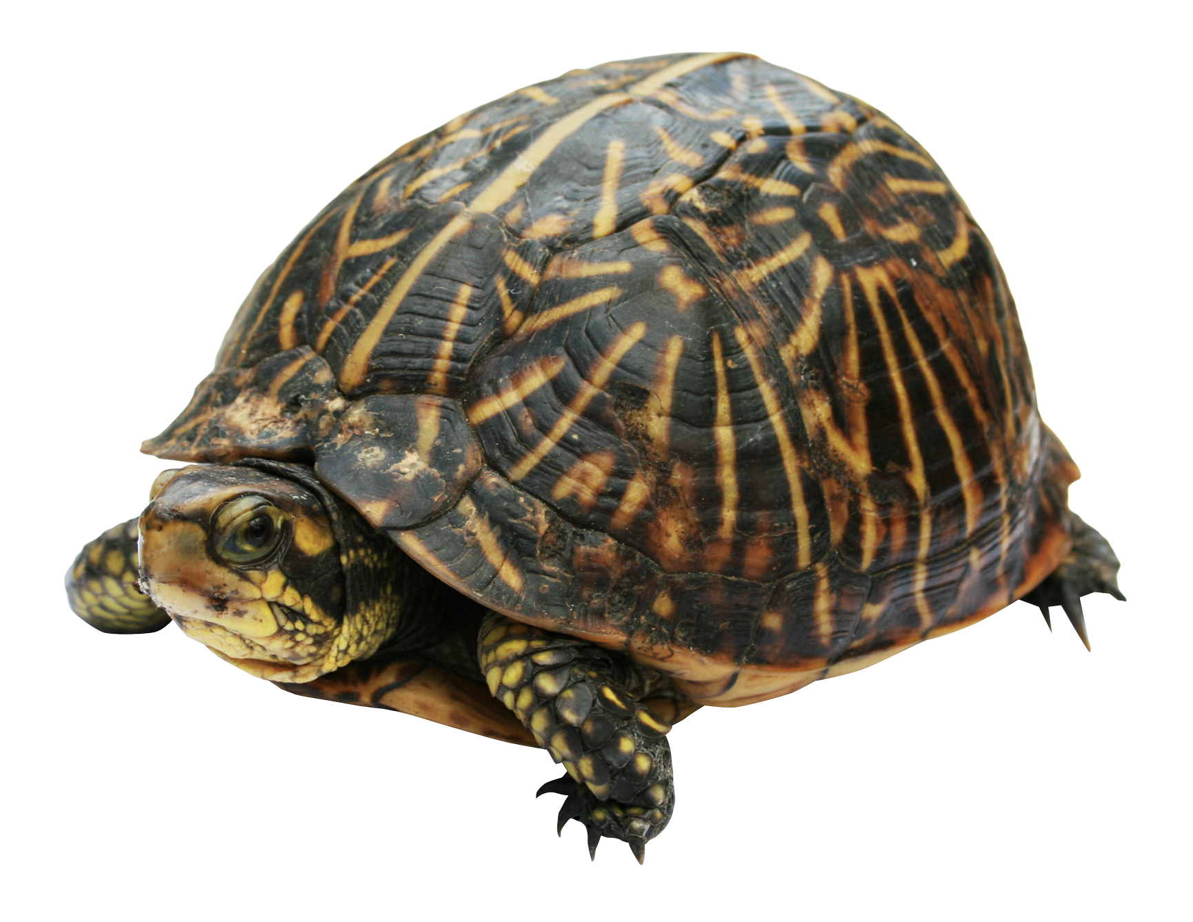 Turtle PNG Image