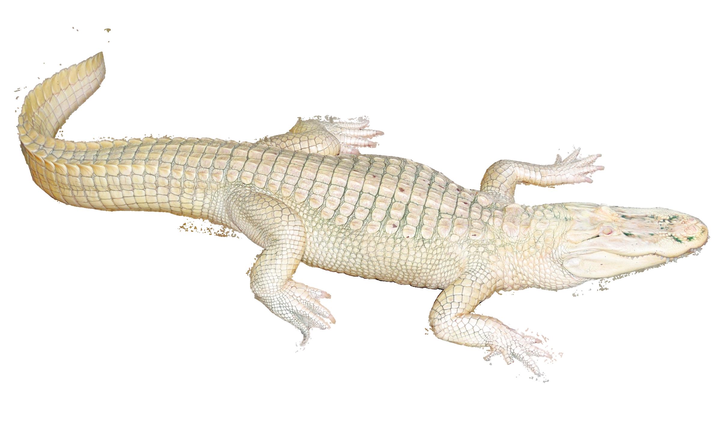 White Crocodile PNG Image