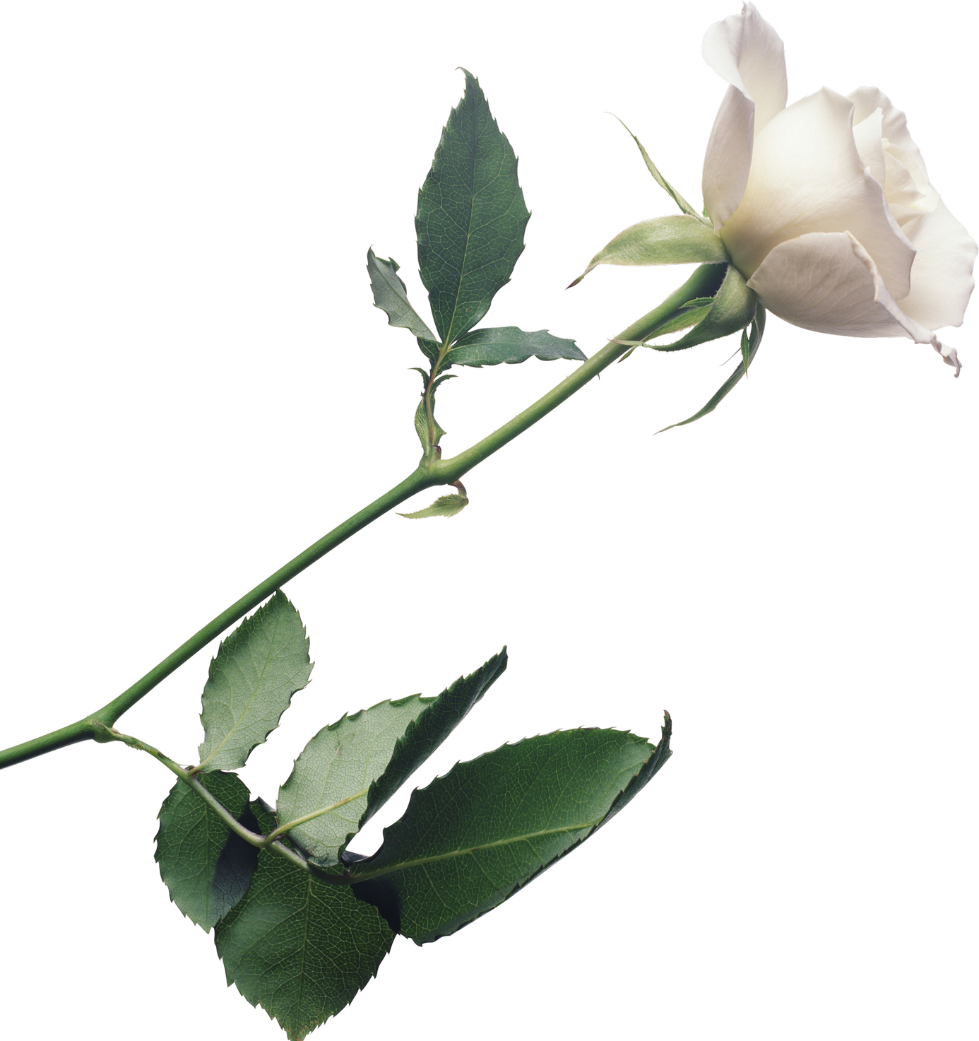 White Roses PNG Image - PurePNG   Free transparent CC0 PNG Image Library