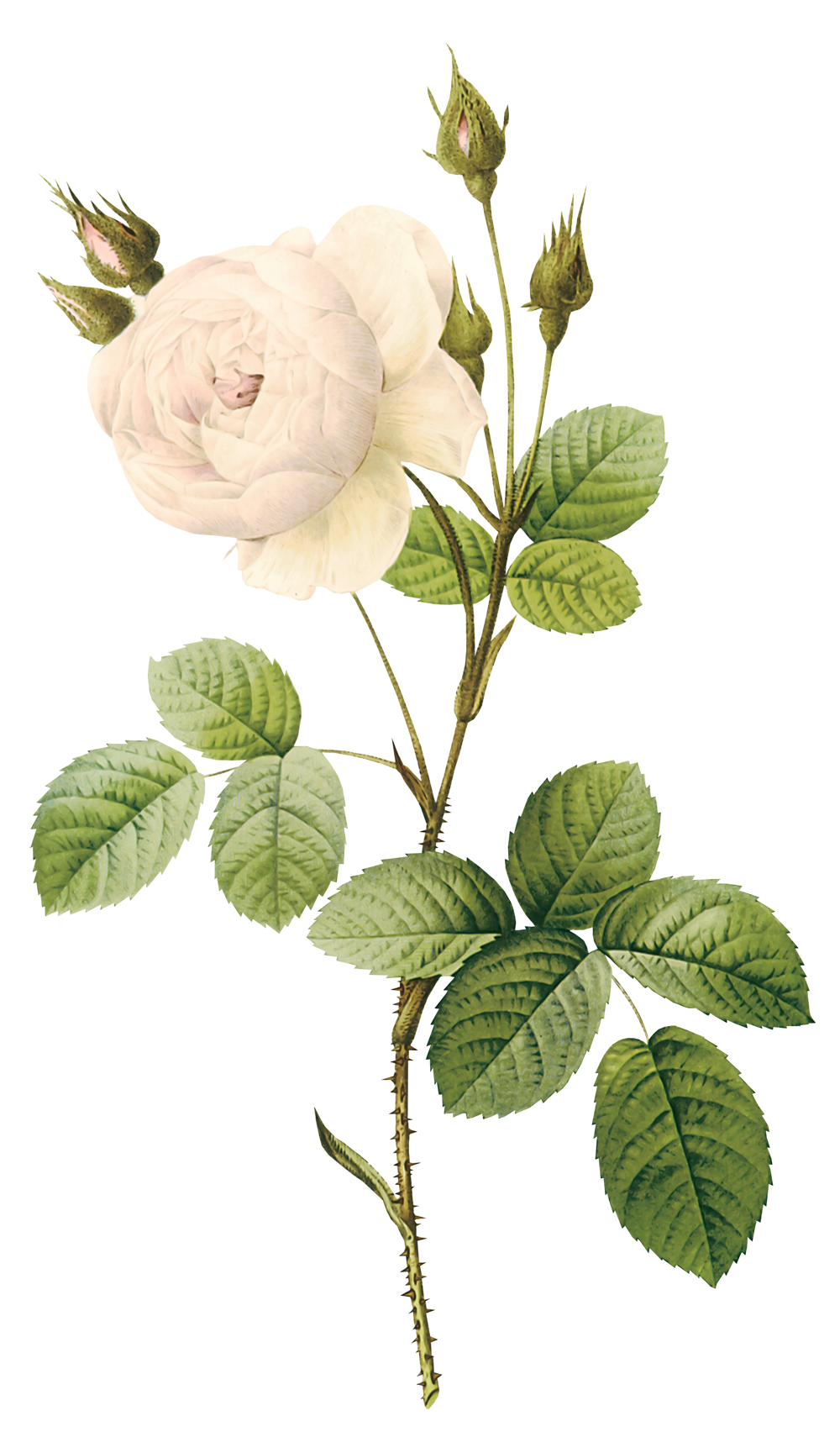 White Roses Png Image Purepng Free Transparent Cc0 Png Image Library