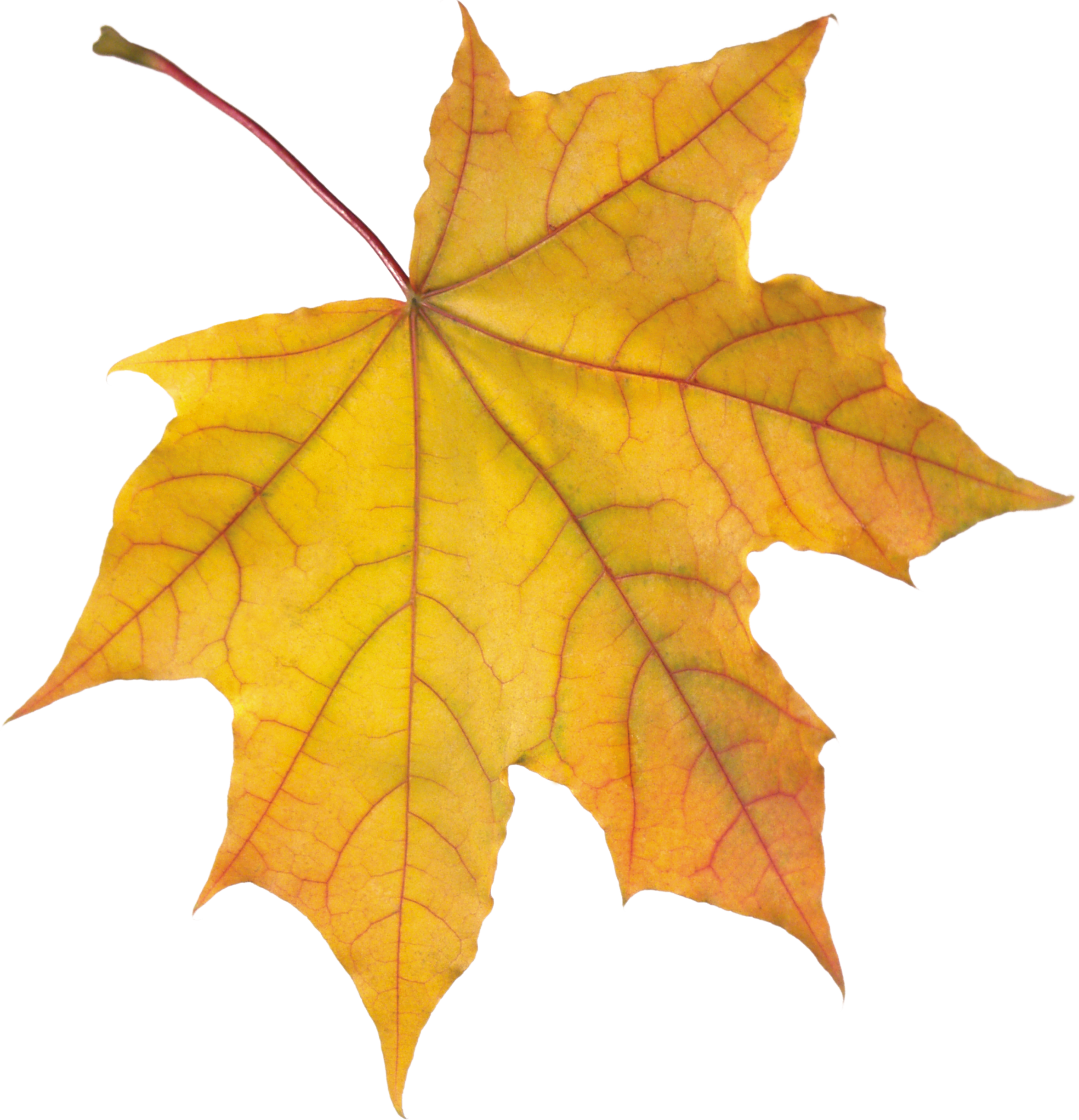 yellow autumn leaf png image purepng free transparent fallen leaves clip art falling leaves clip art animated gif