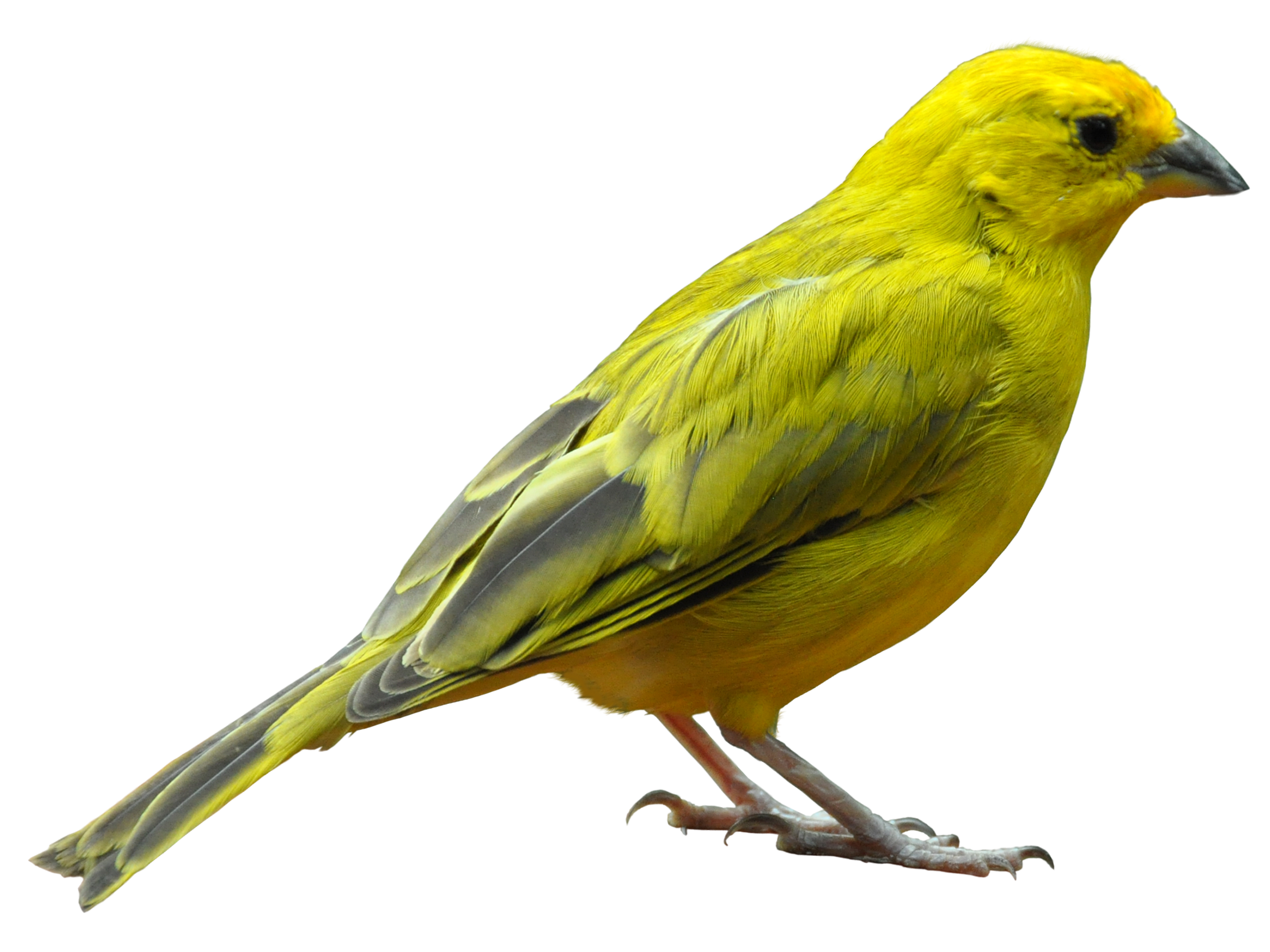 Any One 1 6 Jaeger Birds Hd Wallpapers: Yellow Bird Standing PNG Image - PurePNG