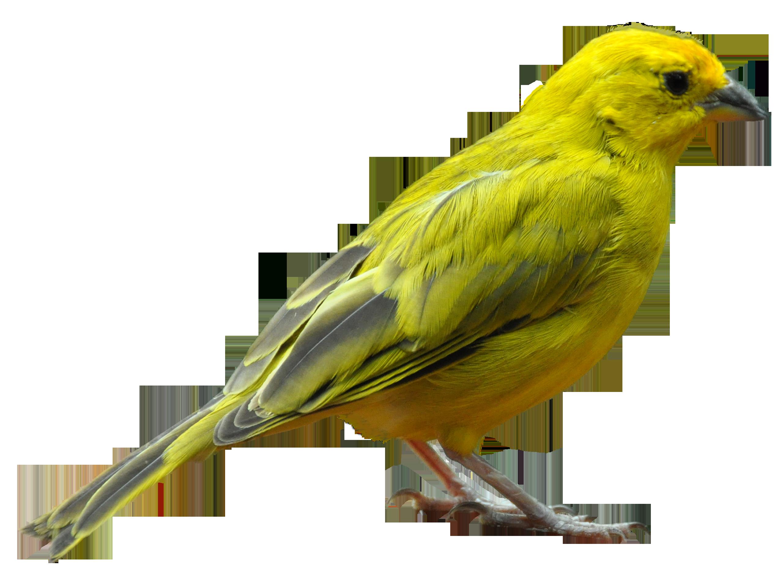 Yellow Bird Standing