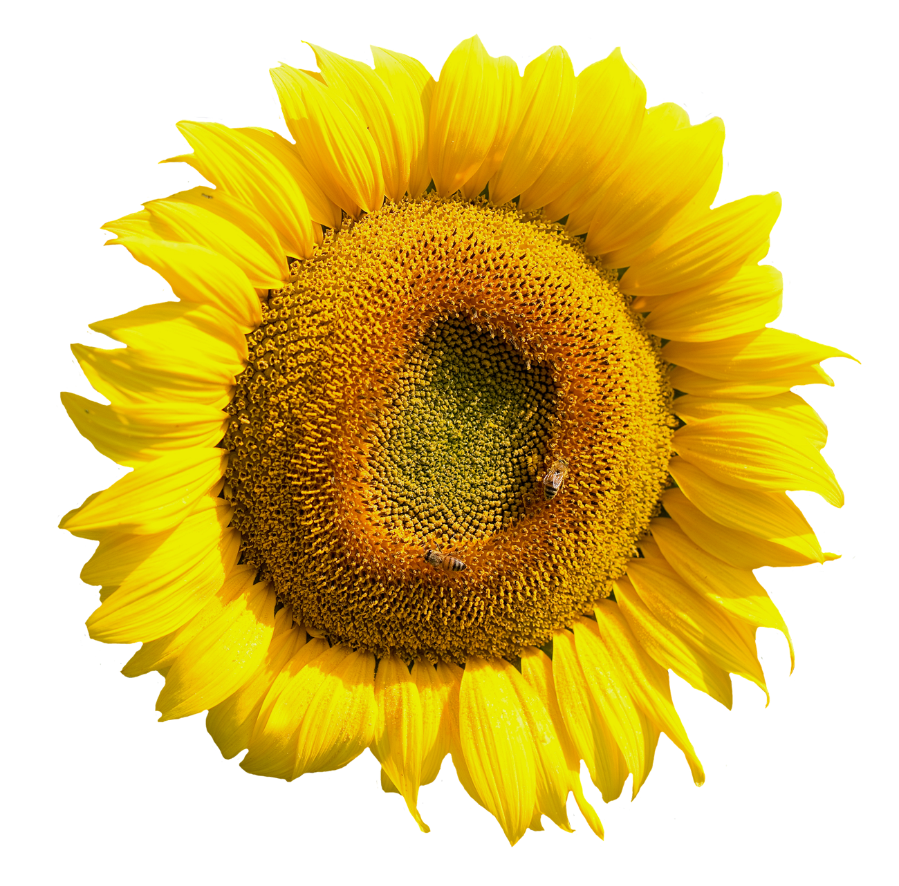 Yellow Sunflower Flower