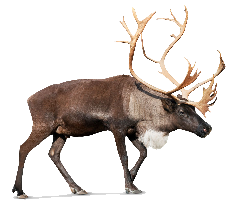 Standing Moose PNG Image