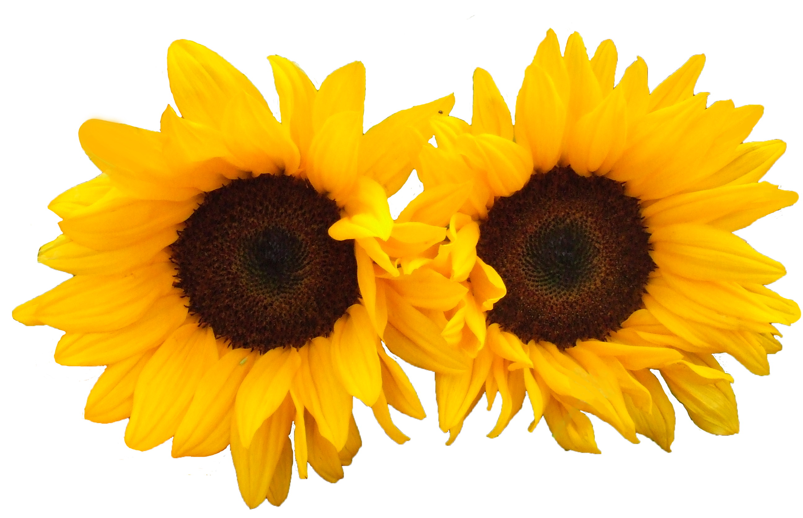 Sun Flowers PNG Image