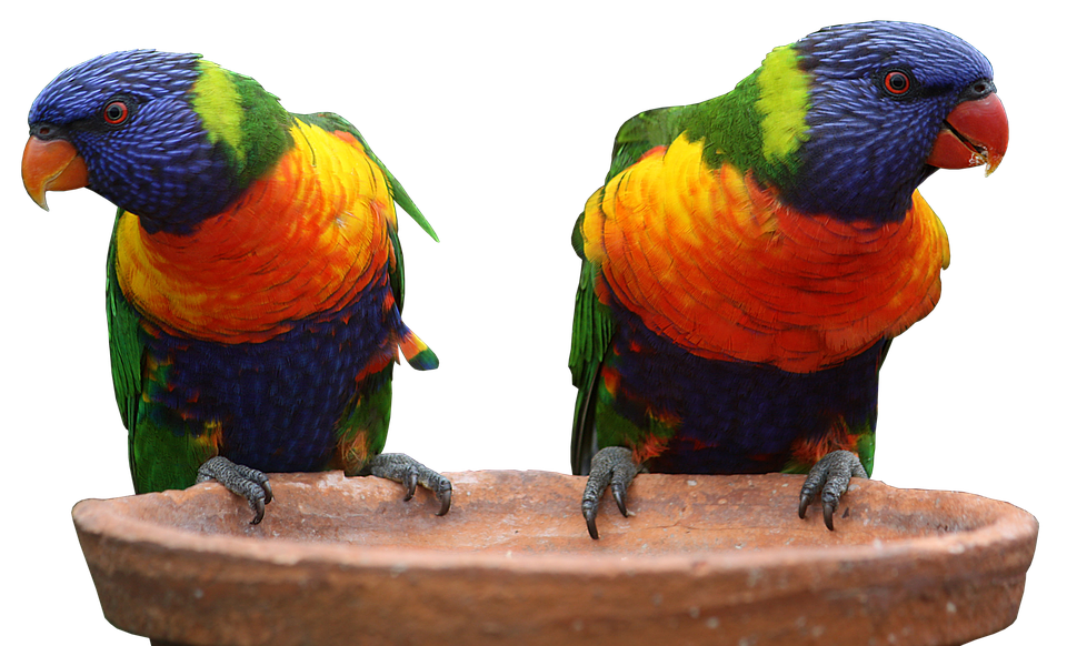 Two Multi Colors Parrots