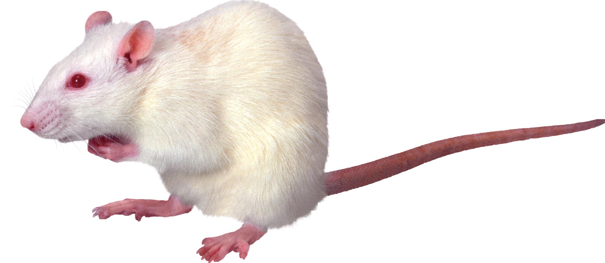 White Rat PNG Image