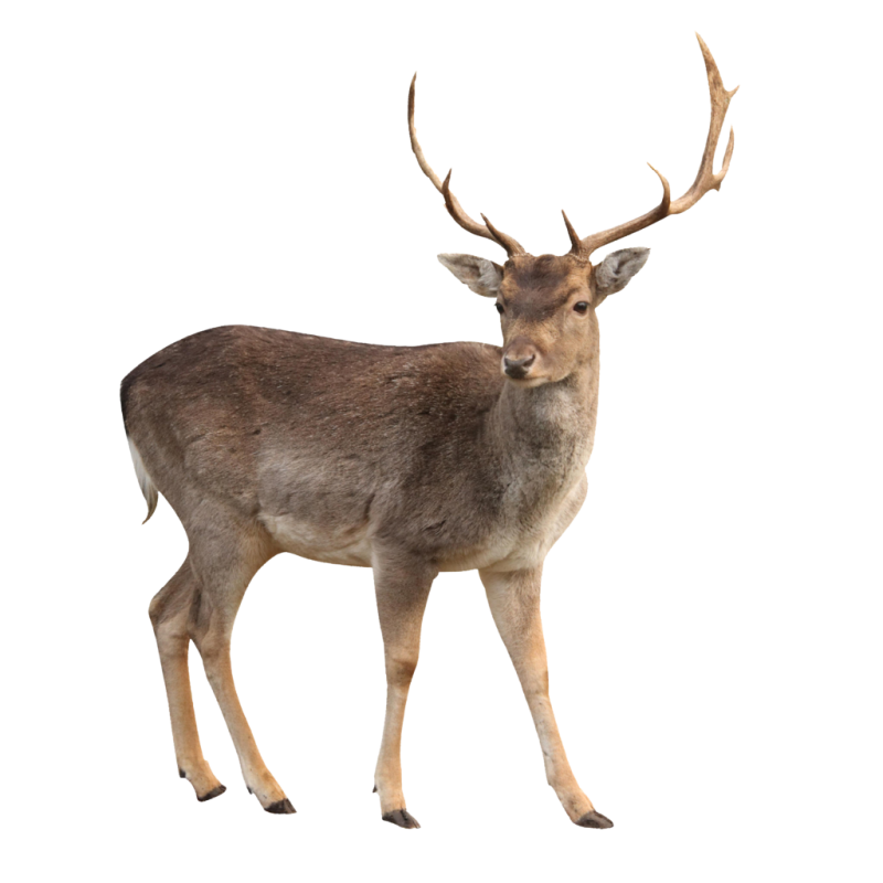 Young Wild Moose PNG Image