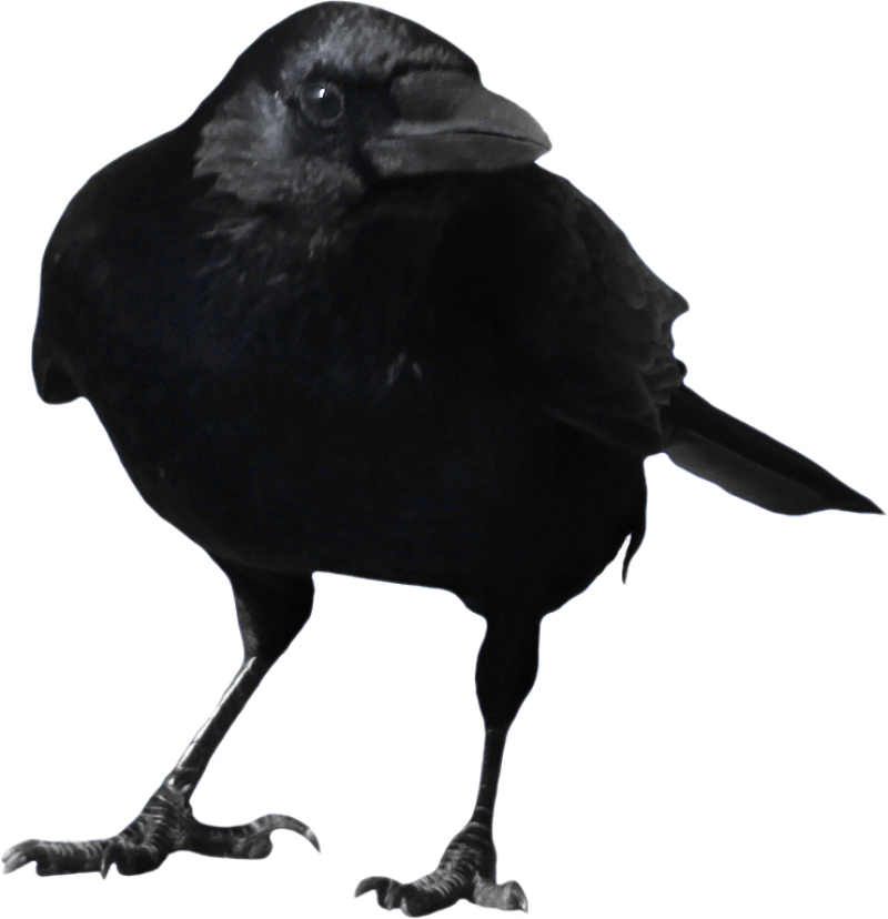 Standing Crow PNG Image
