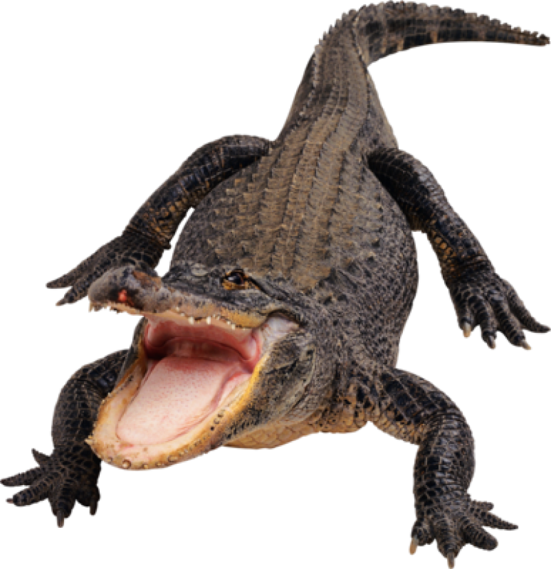 Black Crocodile PNG Image