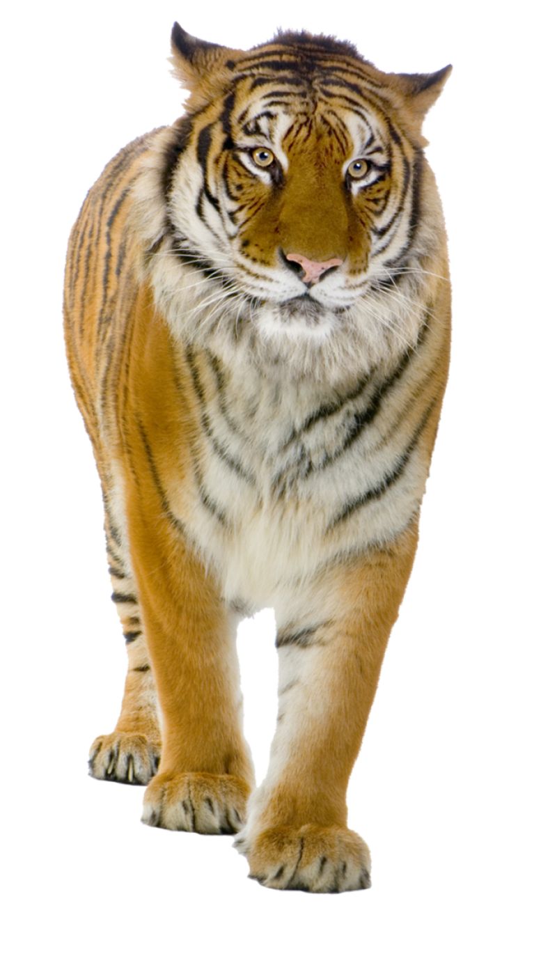 Male Yellow Tiger PNG Image