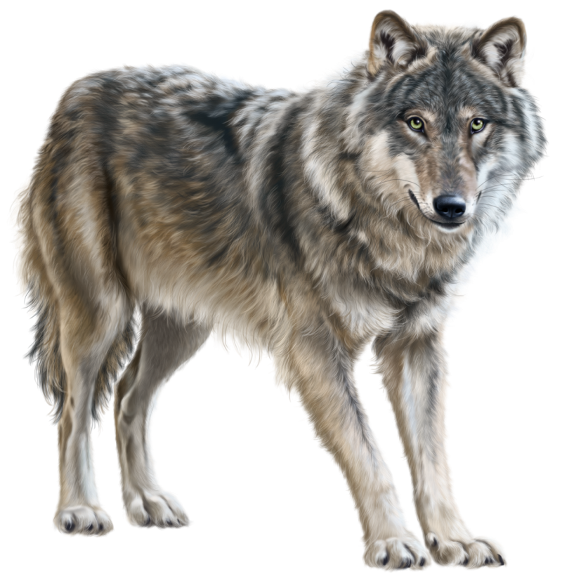 Young Wolf Standing PNG Image