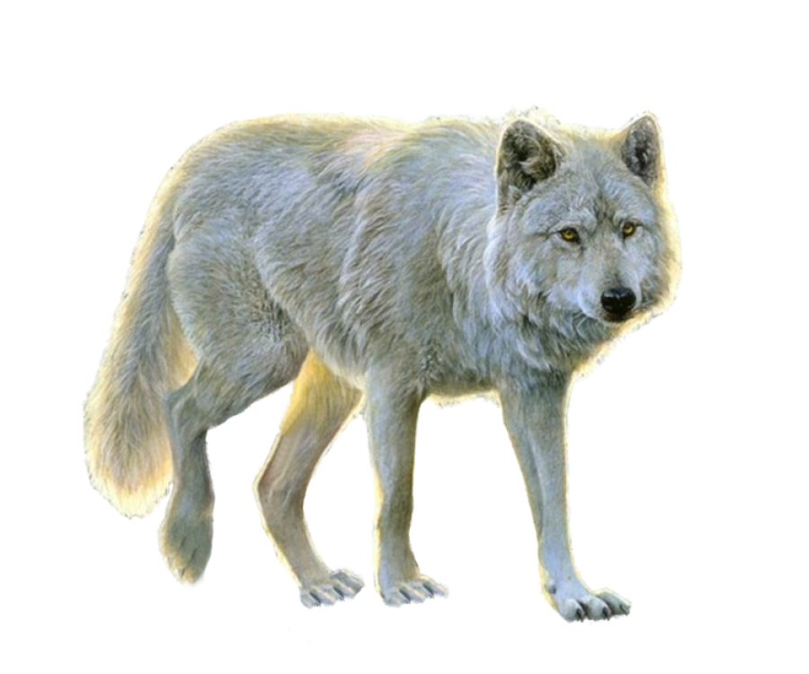 White Wolf PNG Image