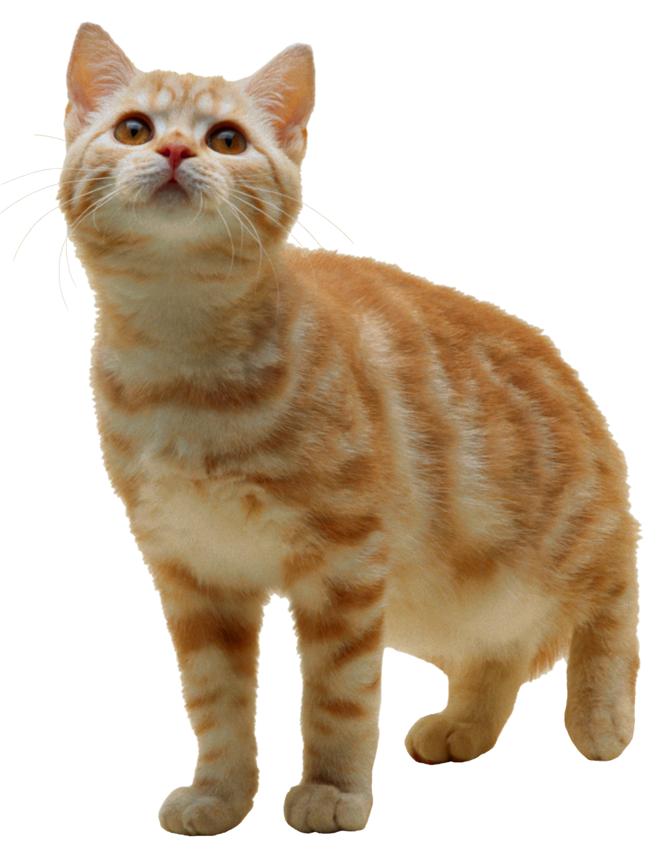 Cat PNG PNG Image