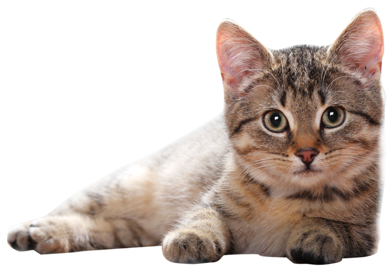 Lying Cat PNG PNG Image