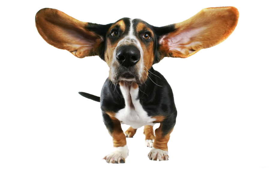 cute small dog with flying ears PNG Image