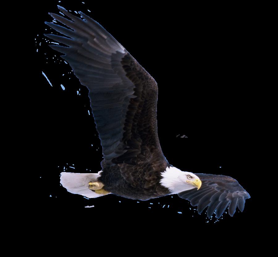 Bald eagle flying PNG Image