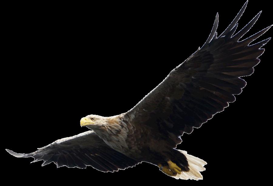 Majestic Bald Eagle flying PNG Image