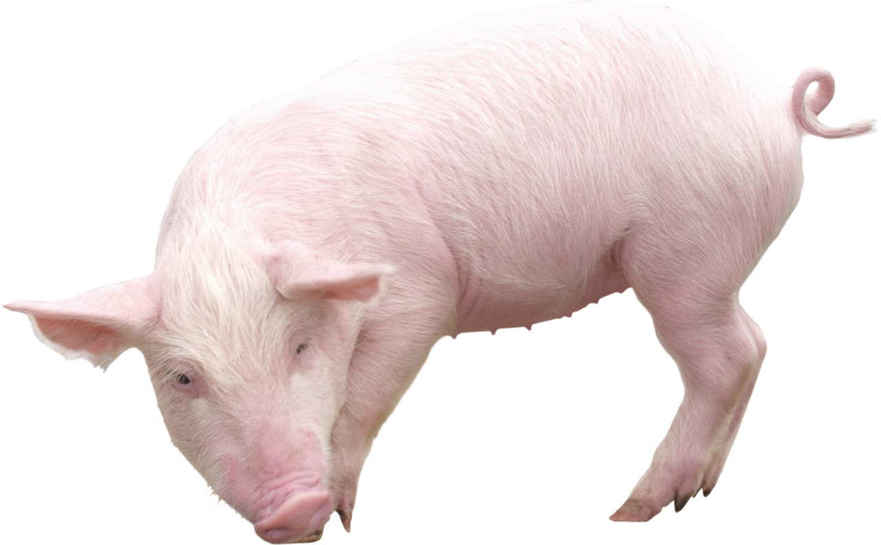 Pig from sideview PNG Image