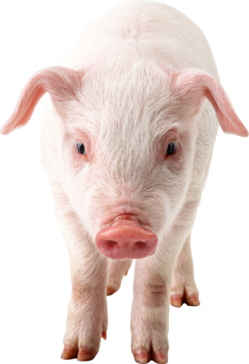 Pig frontview PNG Image