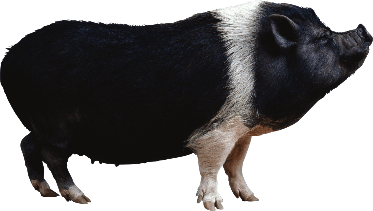 Black pig from side PNG Image