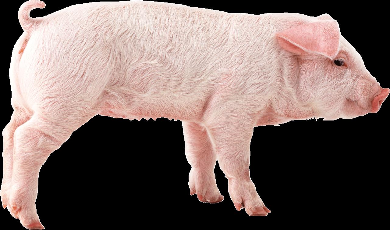 pink pig PNG Image
