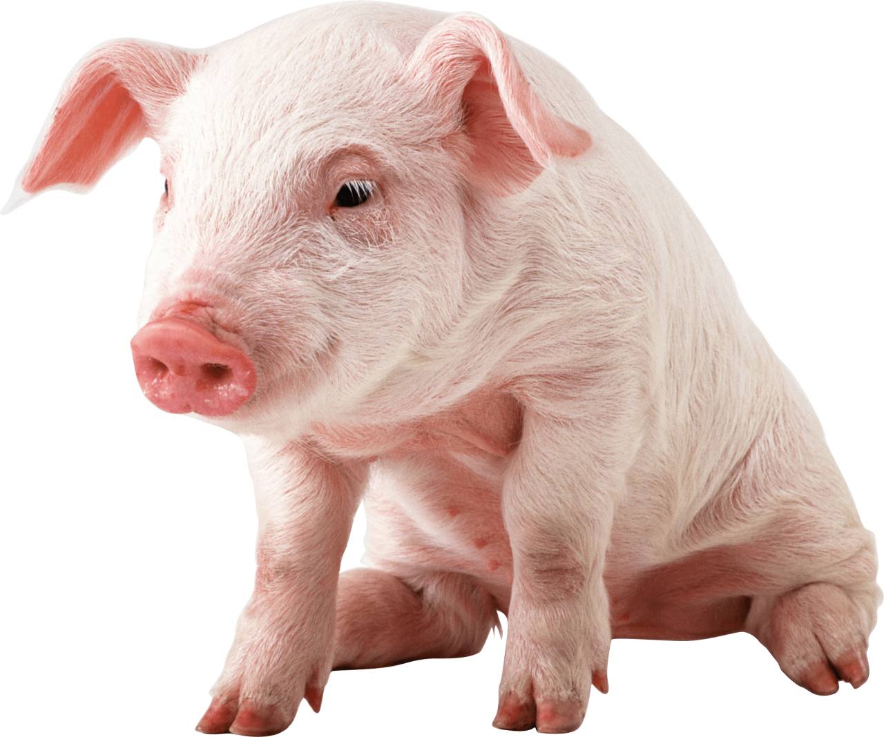 sitting baby pig PNG Image