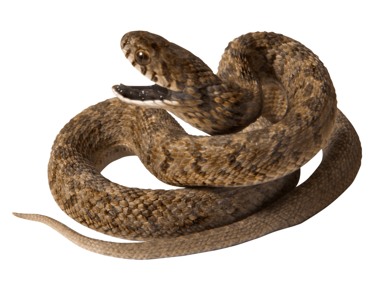 Snake with opened Mouth PNG Image