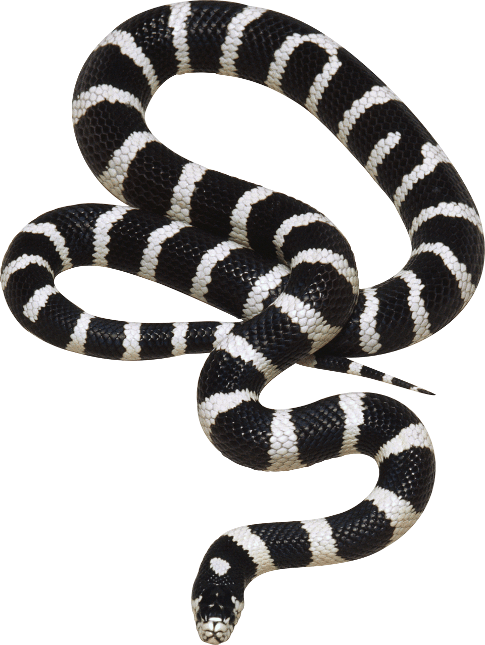 Black And White Snake Png Image Purepng Free Transparent Cc0 Png Image Library