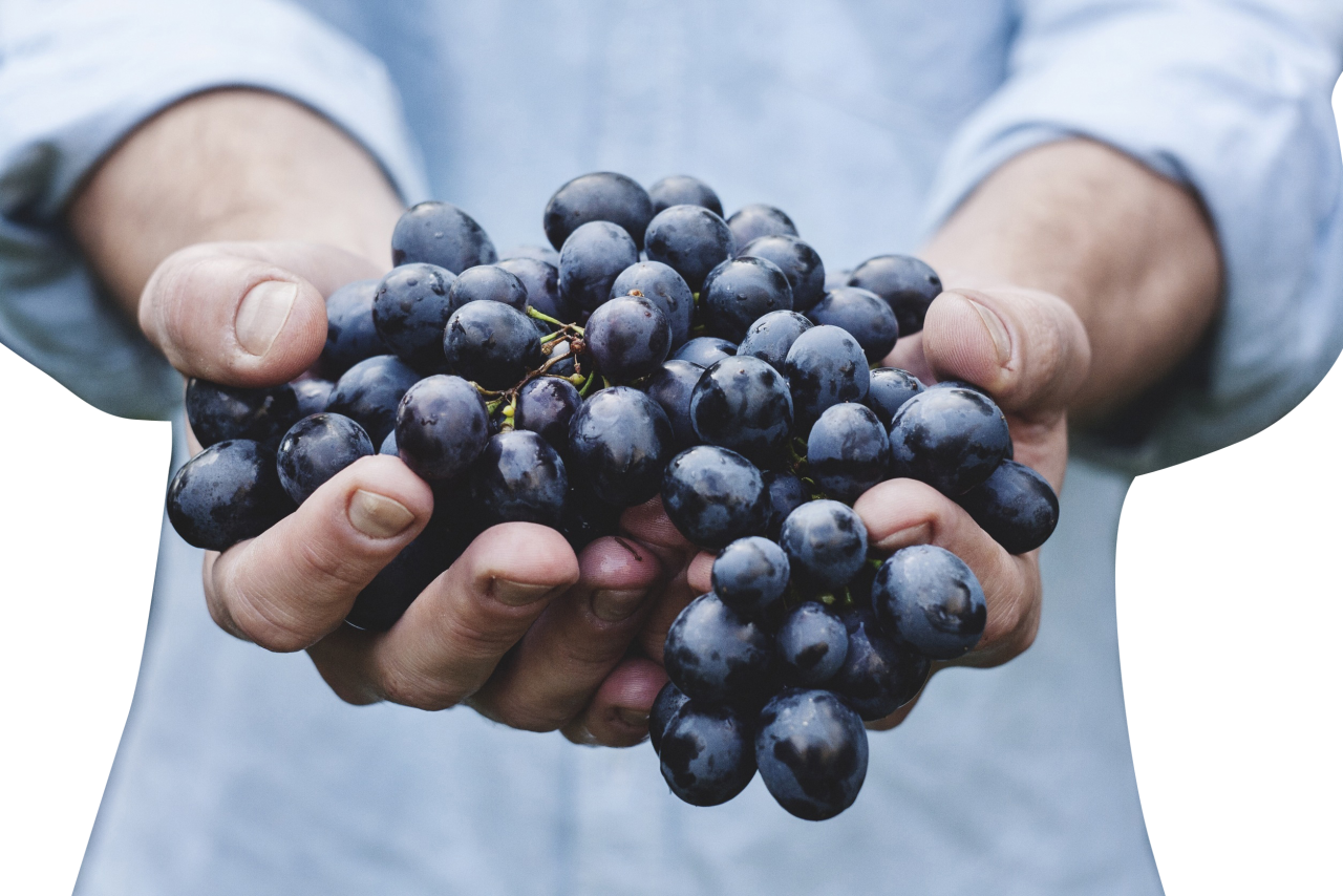 Black Grapes in Hands PNG Image