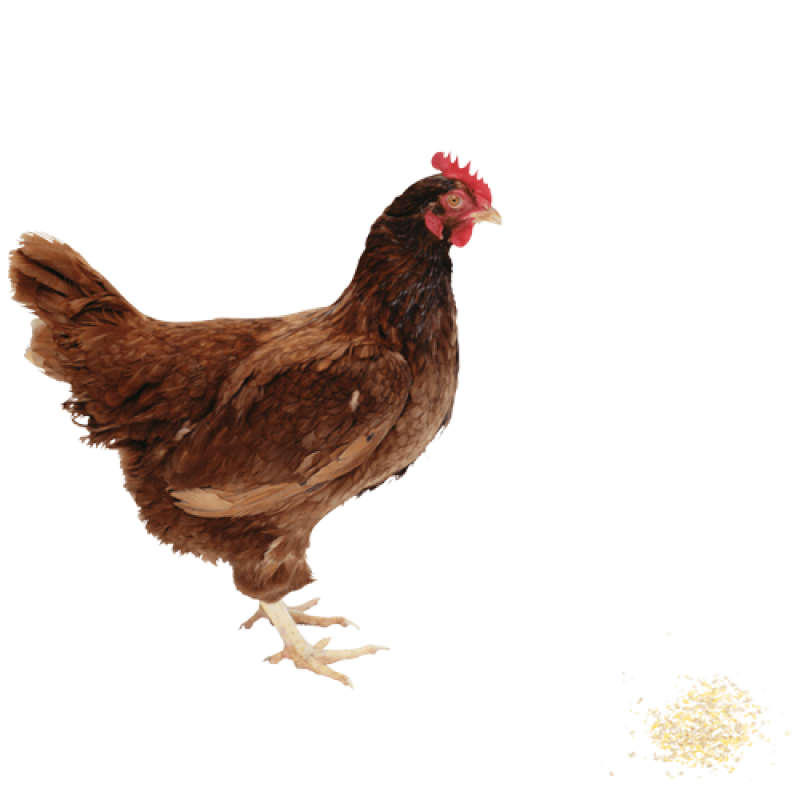 Chicken PNG Image - PurePNG   Free transparent CC0 PNG ...