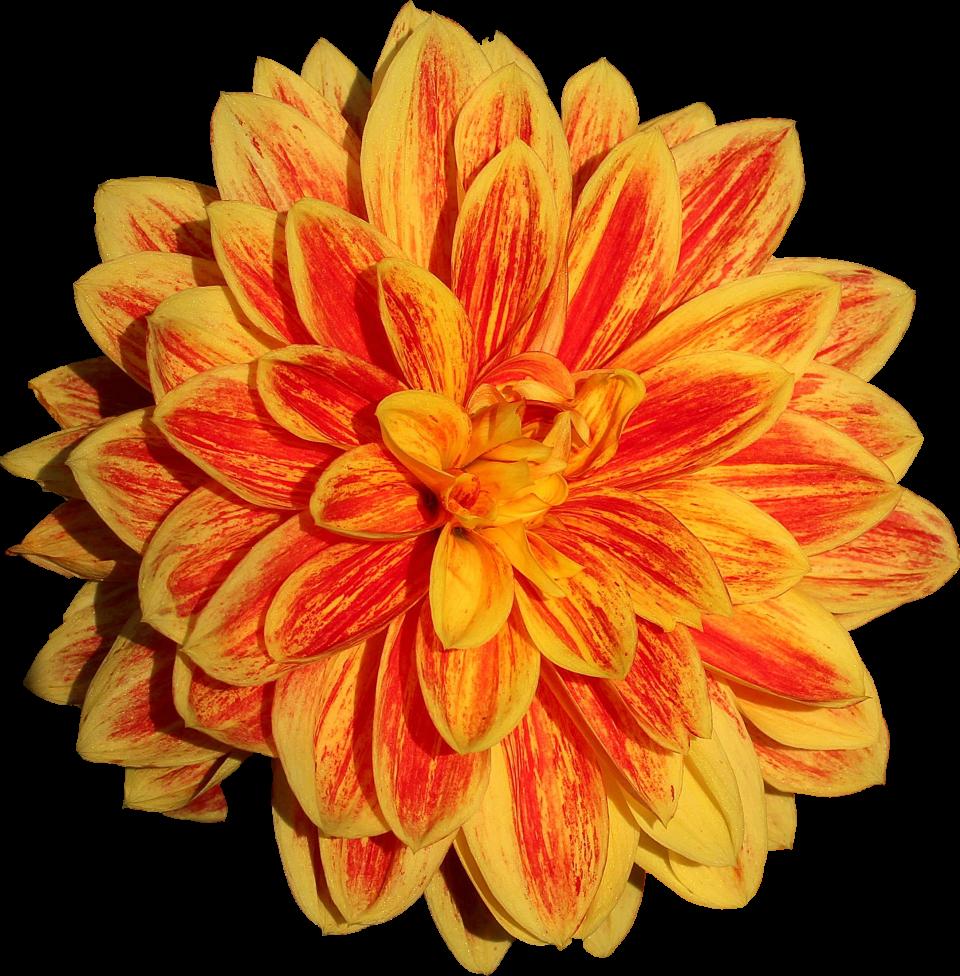 Dahlia Flower PNG Image