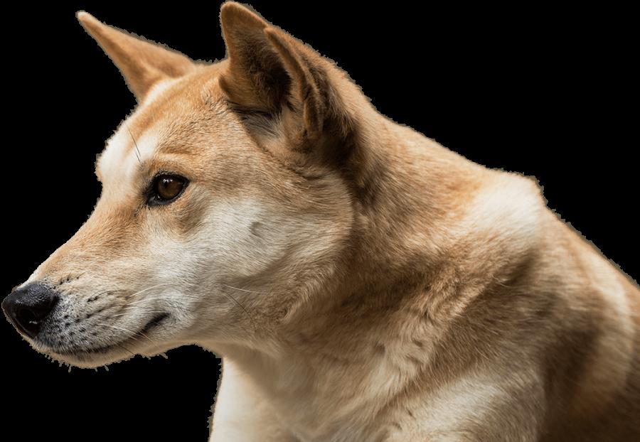 Dingo Face PNG Image