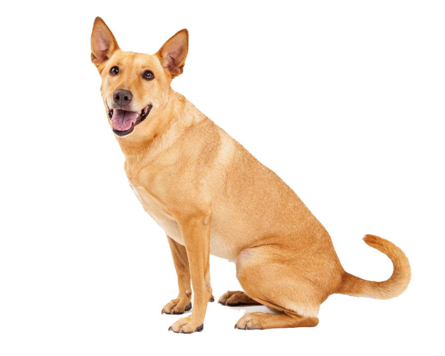 Dingo Sitting PNG Image