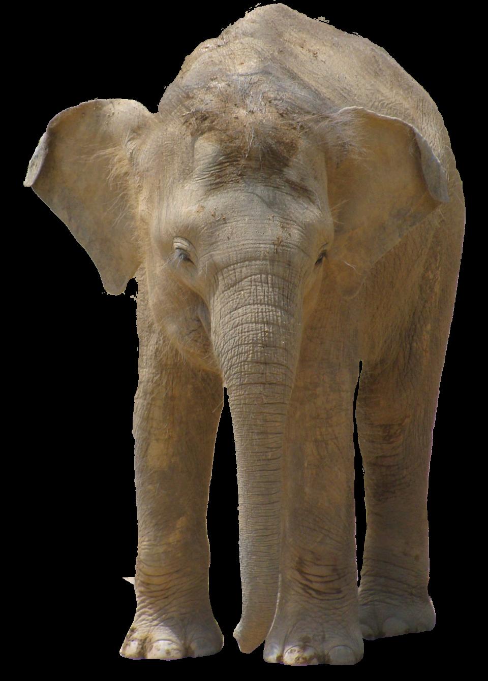 Elephant PNG Image