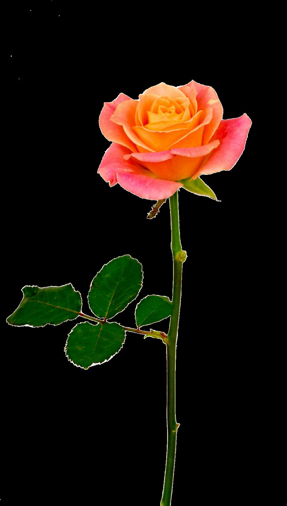 Fresh Rose PNG Image