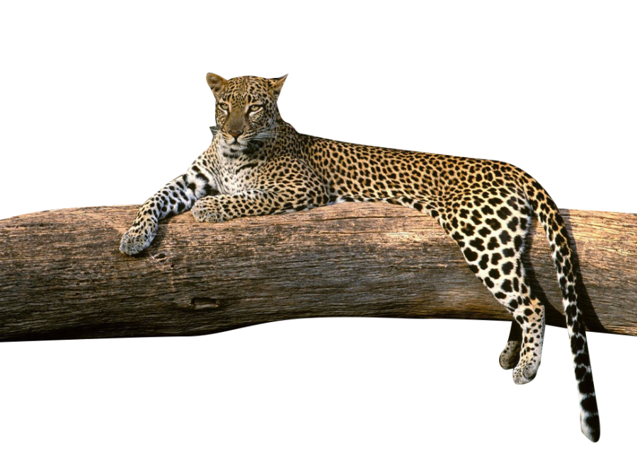 Leopard on a Tree PNG Image