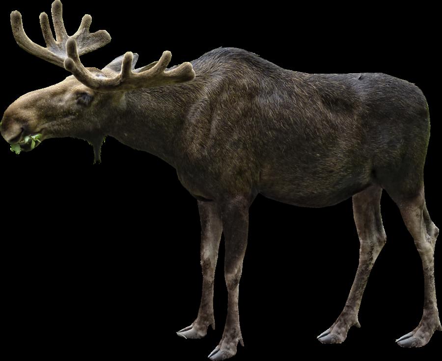 Moose Eating PNG Image