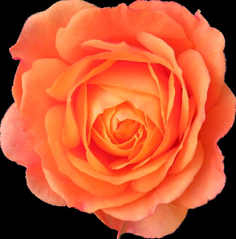 Orange Rose PNG Image
