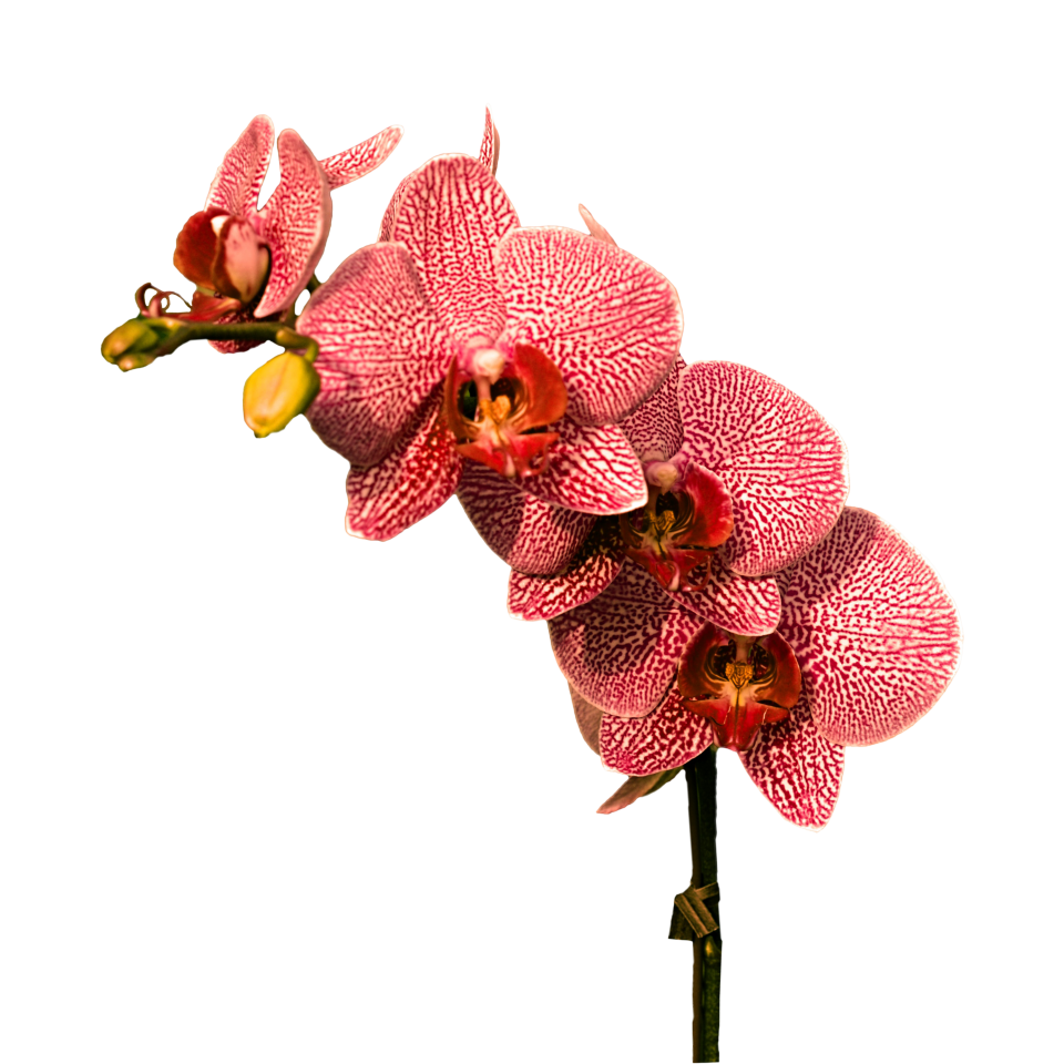 Orchid PNG Image