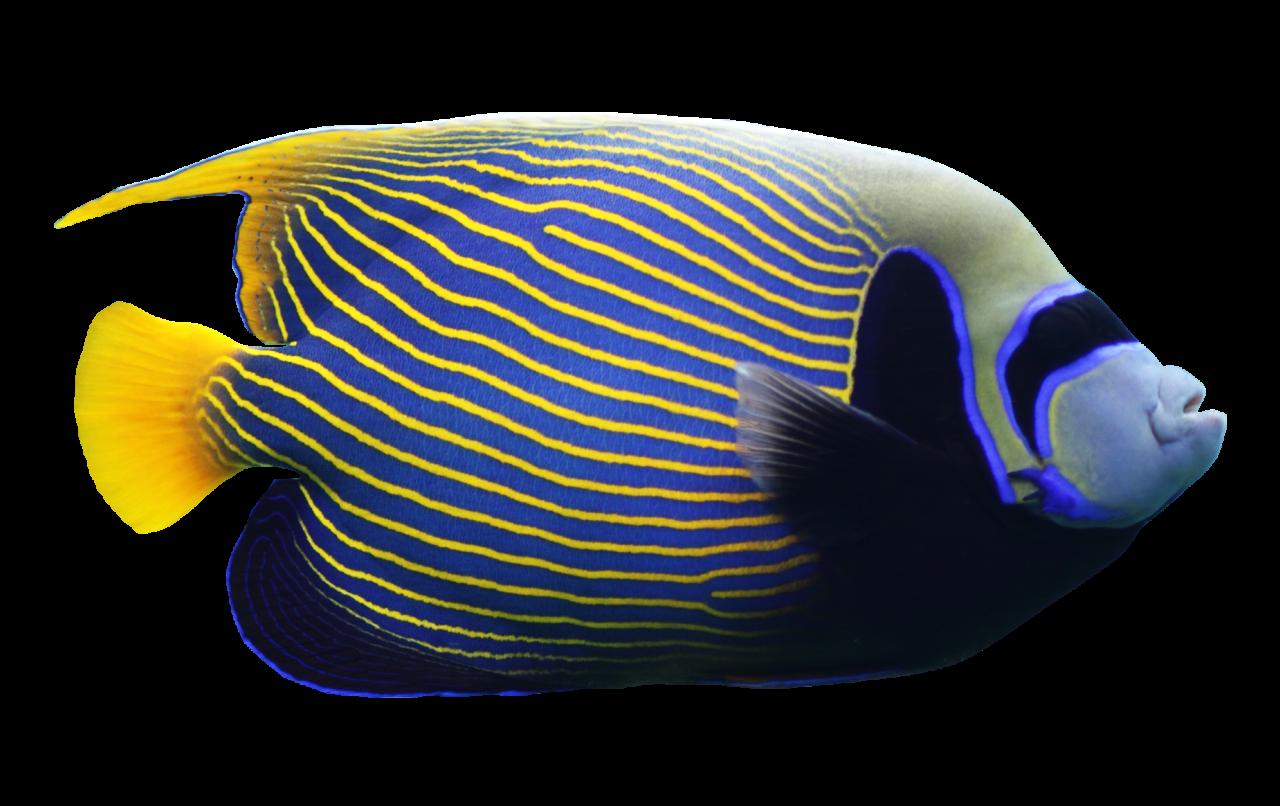 Angelfish PNG Image