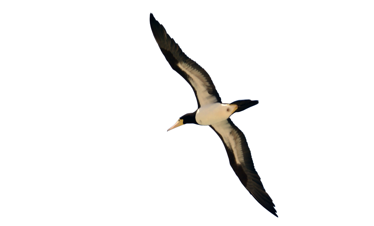 Bird Flying PNG Image