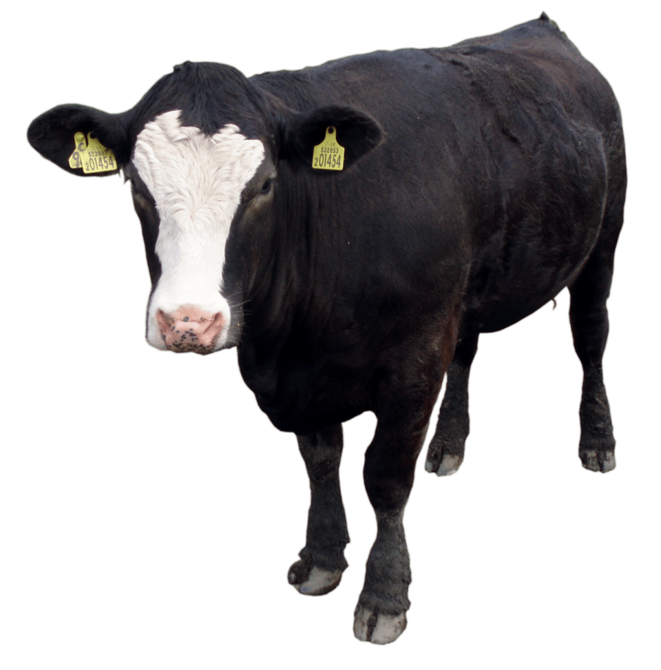 Black Cow Standing PNG Image