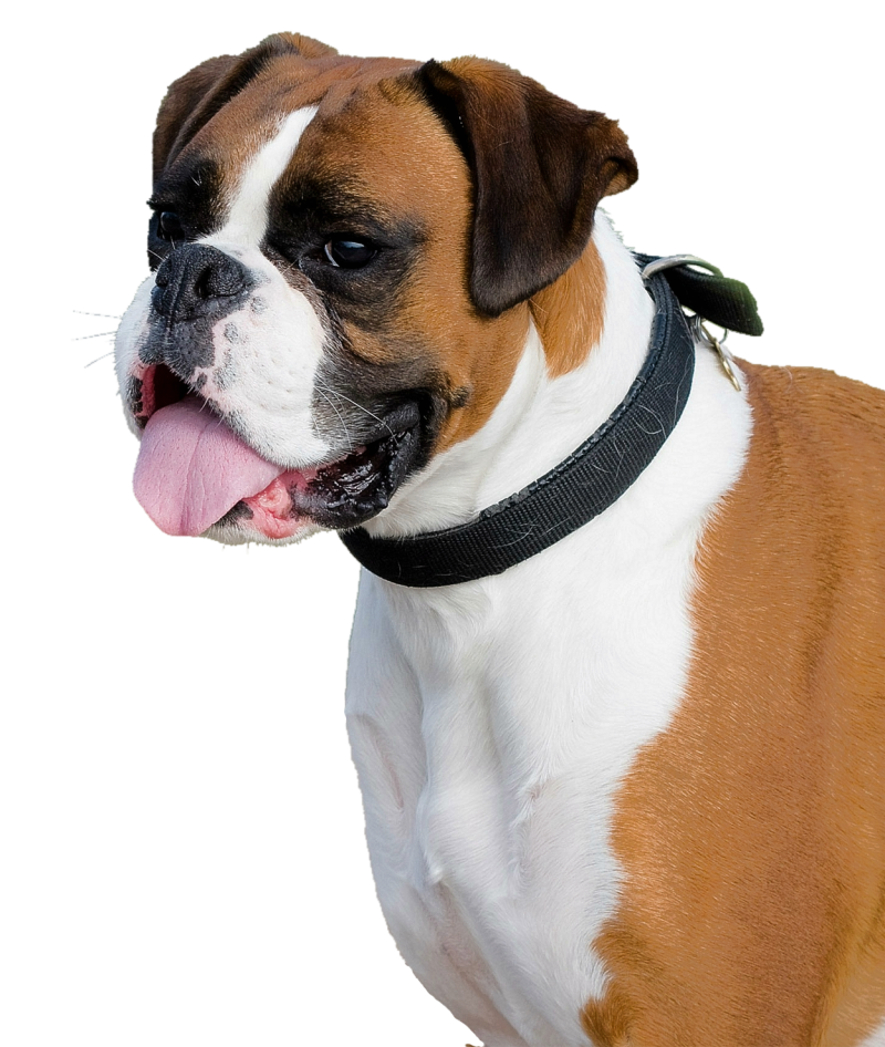 Boxer Dog PNG Image