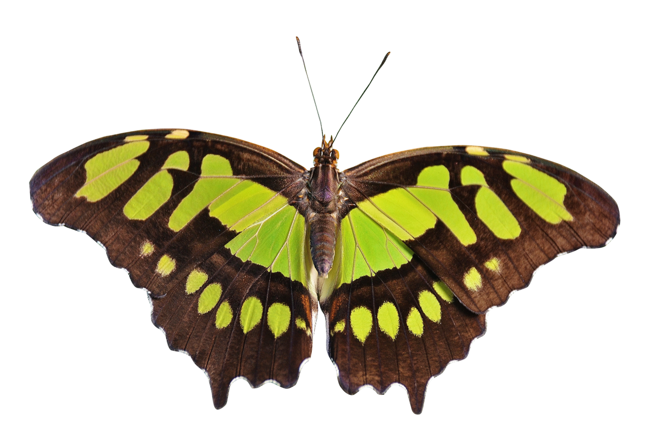 Butterfly Green PNG Image